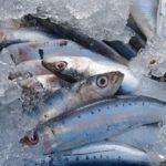 秋刀魚と鰯と配信